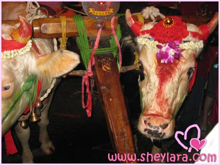 Cows at the temple