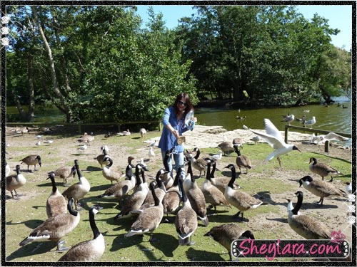 Feeding geese at Poole Park
