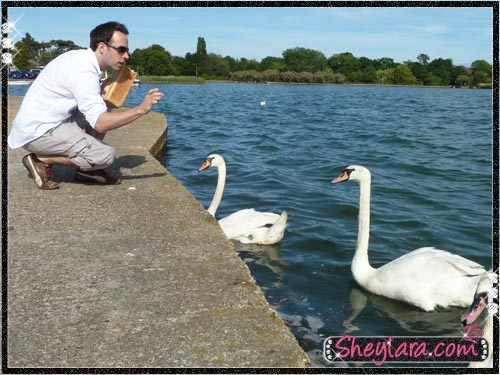 Feeding swans at Poole Park