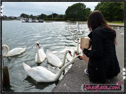 Feeding swans at Swan Lake